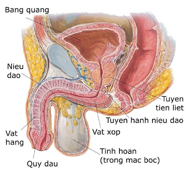 Tuyến tiền liệt – Trái tim thứ hai của đàn ông - www.TAICHINH2A.COM