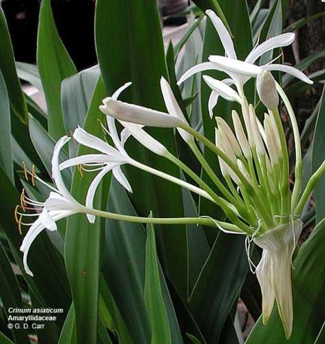 Náng hoa trắng