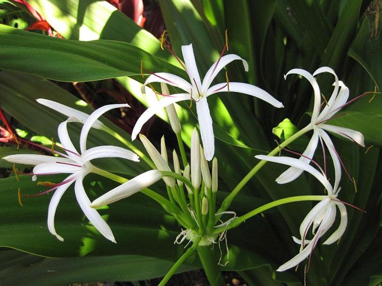 Hình ảnh quả náng hoa trắng